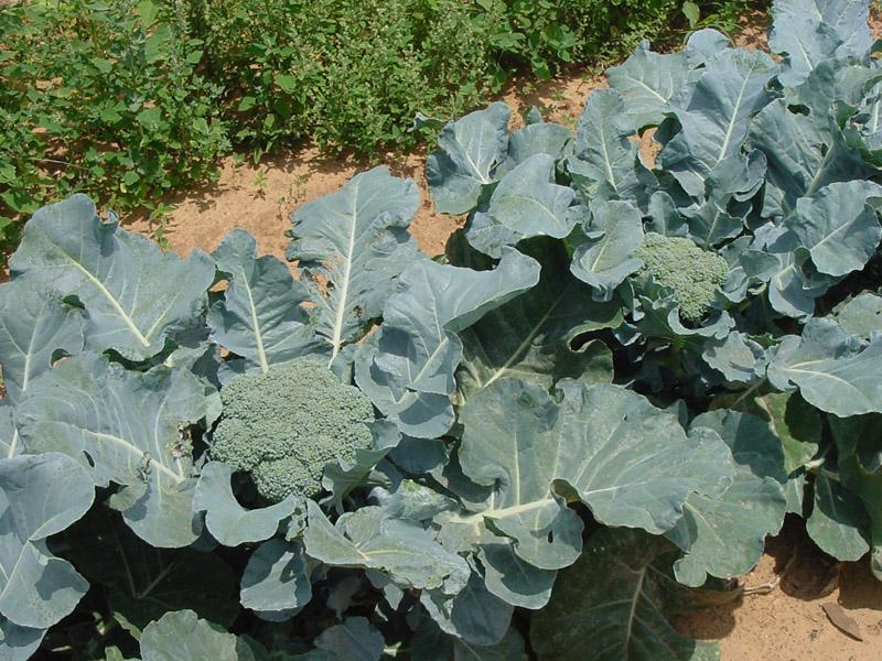 как растёт капуста брокколи